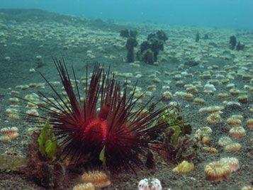 diving menjangan urchin
