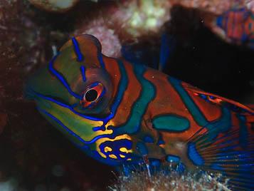Mandarin Fish - Menjangan North Bali